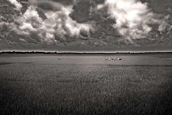 phulbari-rice-field-wasif.jpg