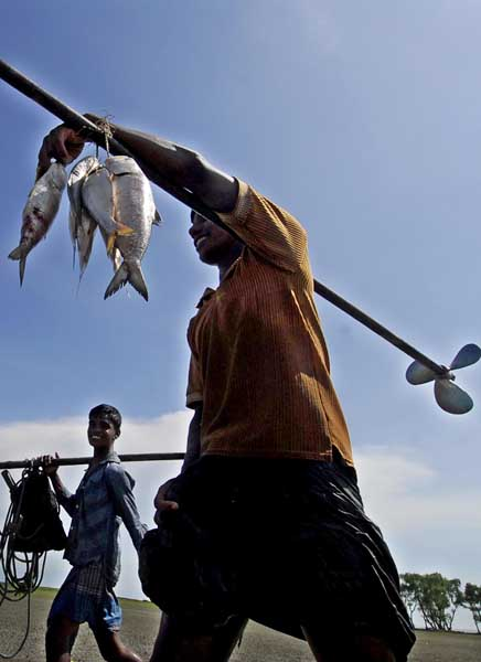 Fishermen bring in their catch of the popular 'Hilsa' fish, ignorant of the ban during breeding season imposed by the Department of Fisheries (DoF), Bangladesh. The ban seeks to encourage breeding and coincides with the spawning period, which this year was during the waning phase of the moon, from October 15 to 28. During this period thousands of female Hilsas travel form their normal deep sea habitats to the shallow coastal waters to spawn making them an easy catch. DoF says anybody violating the restriction will face a six-month imprisonment and a fine of Tk 1000 and that this will double for repeat offenders. However, this information is not communicated to the poor fishermen, who see this as an easy way to supplement their incomes. Chittagong, Bangladesh. October 28 2008